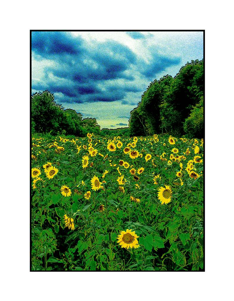 Sonnenblumen-Moyland